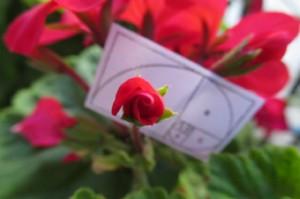 flor de fibonacci
